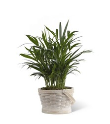 The FTD Deeply Adored(tm) Palm Planter in Chicago at Crystal Flower Shop