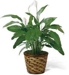 Spathiphyllum Plant (Peace Lily) in Chicago at Crystal Flower Shop