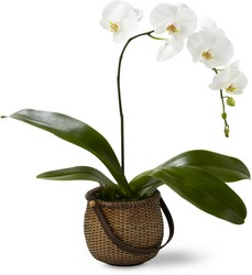 The FTD White Phalaenopsis Orchid in Chicago at Crystal Flower Shop
