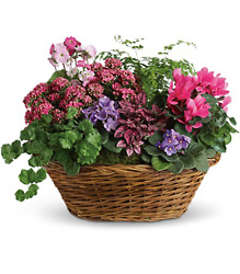 Simply Chic Mixed Plant Basket in Chicago at Crystal Flower Shop