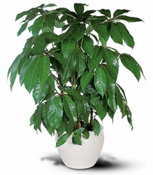 Schefflera in Chicago at Crystal Flower Shop