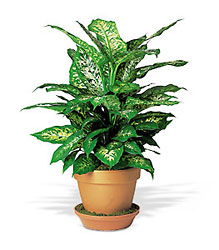 Dieffenbachia in Chicago at Crystal Flower Shop